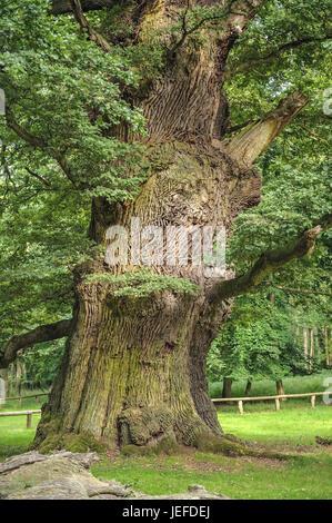 Of Ivenacker oaks, handle oak, Quercus robur , Ivenacker Eichen, Stiel-Eiche  (Quercus robur) - Stock Photo