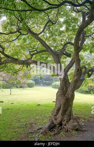 Professional maple, Acer palmatum , Fächer-Ahorn (Acer palmatum) - Stock Photo