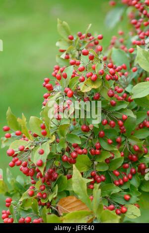 Warzige brilliant medlar, Photinia villosa , Warzige Glanzmispel (Photinia villosa) - Stock Photo
