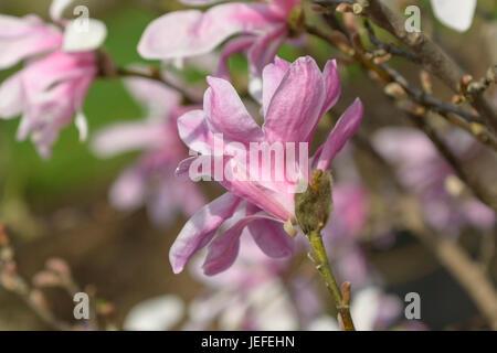 Loebners magnolia, Magnolia loebneri Leonard Messel , Loebner's Magnolie (Magnolia × loebneri 'Leonard Messel') - Stock Photo