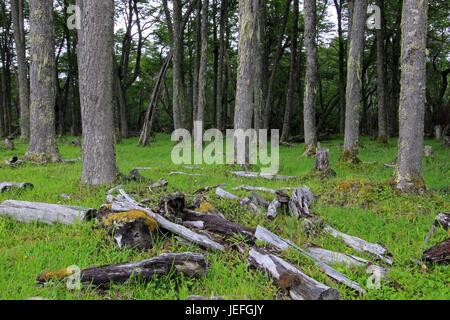 Nice forest, near Villa O'Higgins, Carretera Australl, Patagonia Chile - Stock Photo
