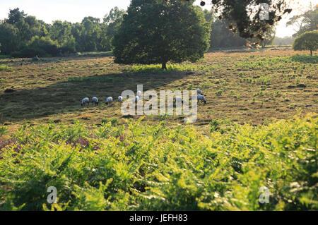 Sheep grazing on heathland, Suffolk Sandlings, near Shottisham, England, UK - Stock Photo