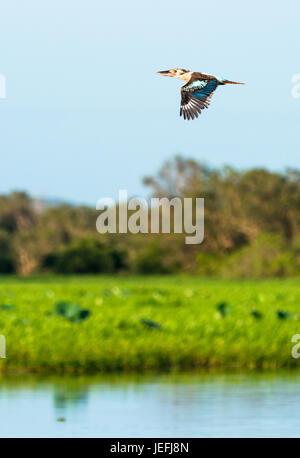 Kookaburra in flight over Yellow Water Wetlands. Cooinda, Kakadu National Park, Northern Territory, Australia. - Stock Photo
