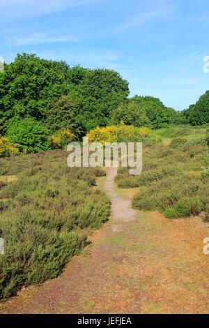 Sandlings heathland vegetation Suffolk Coast and Heaths, Shottisham, Suffolk, England, UK - Stock Photo