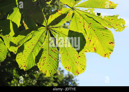 Horse chestnut tree, Aesculus hippocastanum, Suffolk, England UK leaf miner insect, Cameraria ohridella, damage - Stock Photo