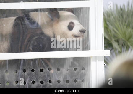 Berlin, Germany. 24th June, 2017. Panda female Meng Meng behind a glass disc at the Berlin airport Schönefeld. Credit: - Stock Photo