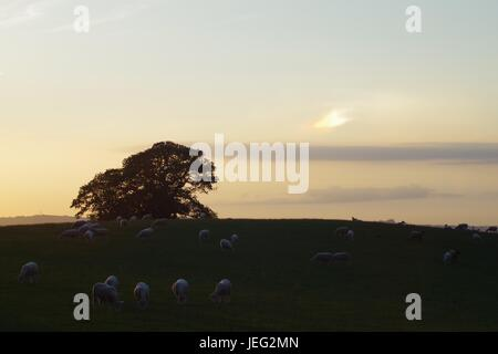 Sheep Grazing in a Pasture Field at Sunset with an Oak Tree. Powderham Estate, Devon, UK. June, 2017. - Stock Photo