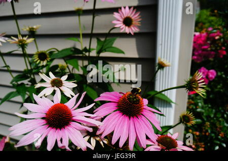 Purple cone flower and bumblebee - Stock Photo