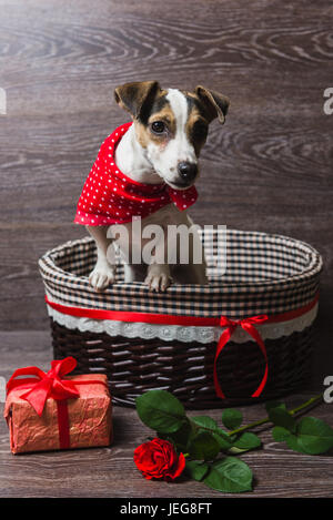 Jack Russell Terrier in brown basket with festive gift box and rose. Dog in a trendy red bandana. Dark wooden background. - Stock Photo