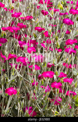 Silvery foliage and red-pink flowers ofthe summer flowering perennial rose campion, Lychnis coronaria - Stock Photo