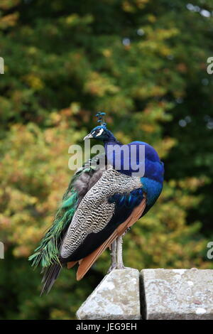 A beautiful male Peacock showing off in the garden of Scone Palace, Scotland - Stock Photo