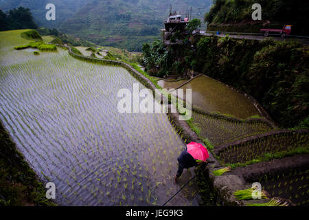 Farmer in red umbrella planting rice during rainy season at Banaue Rice Terraces, Philippines. 2017 - Stock Photo