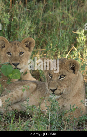 Two cute lion cubs lying in grass in the Mombo area on Chiefs Island in the Okavango Delta Botswana - Stock Photo