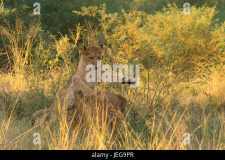 Lion cubs playing in the Okavango Delta - Stock Photo