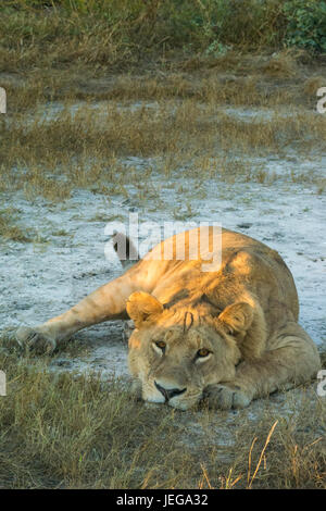 Young male lion (Panthera leo) lying on sand in the Okavango Delta - Stock Photo