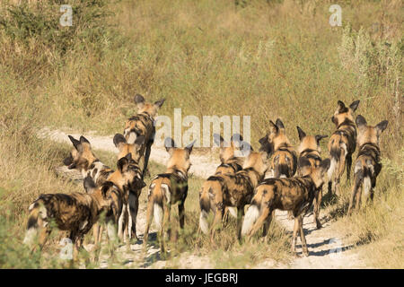Large pack of cape hunting dogs stalking prey in Mombo Okavango Delta in Botswana - Stock Photo
