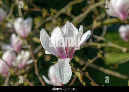 Tulip magnolia, Magnolia soulangeana , Tulpen-Magnolie (Magnolia × soulangeana) - Stock Photo