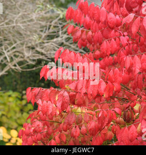 Wing-spindle shrub, Euonymus alatus Compactus , Flügel-Spindelstrauch (Euonymus alatus 'Compactus') - Stock Photo