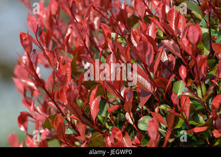 brilliant medlar photinia fraseri little red robin glanzmispel stock photo 146627224 alamy. Black Bedroom Furniture Sets. Home Design Ideas