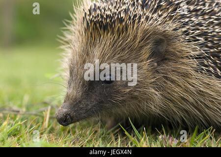 Hedgehog, Erinaceidae, portrait, Igel, Portrait - Stock Photo