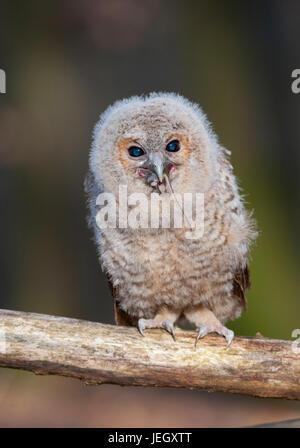 Tawny owl, Strix aluco, Waldkauz (Strix aluco) - Stock Photo