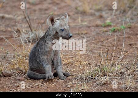 Spotted hyena or Laughing hyena (Crocuta crocuta), male baby animal sitting, Kruger National Park, South Africa - Stock Photo