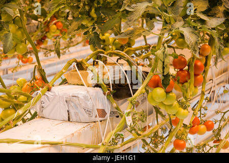 Tomatoes growing in a geothermal greenhouse at Fridheimar greenhouse, Iceland. - Stock Photo