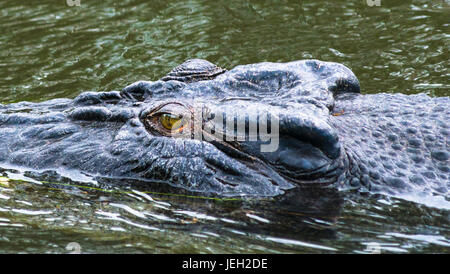Saltwater crocodile close up on East Alligator river, Kakadu National park, Northern Territory, Australia - Stock Photo