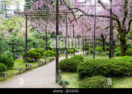 Japanese garden Heian Jingu. Shin-en weeping, supported cherry blossom - Stock Photo