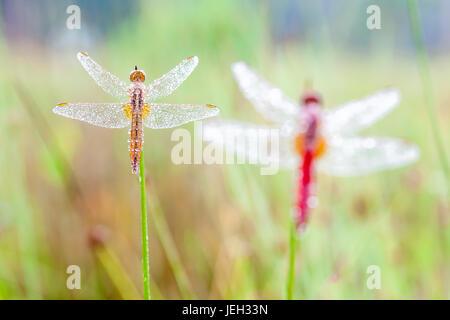 In the early morning you will see that firefly with water dew of the dew - Stock Photo