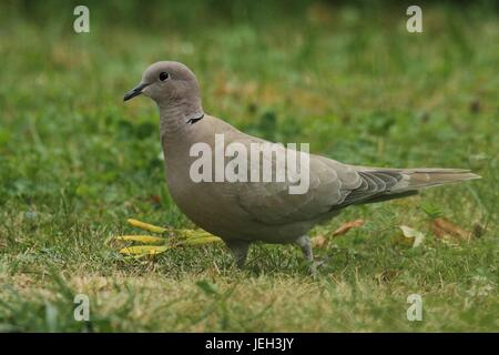 Pigeon in the Green - Stock Photo