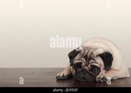 cute little pitiful sad pug puppy dog, lying down on wooden floor - Stock Photo
