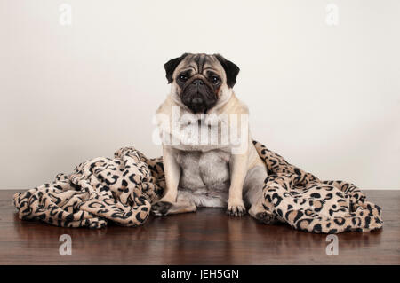 cute pug puppy dog sitting down on wooden floor with fuzzy leopard print blanket - Stock Photo