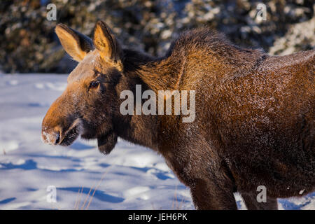 Close-up of a female moose (alces alces)with frost on her fur from foraging in the snow on a -30 F (-34 C) degree - Stock Photo