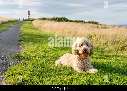 A blond cockapoo sits on the grass beside a path leading to Souter Lighthouse; South Shields, Tyne and Wear, England - Stock Photo
