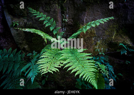 Close-up of a fern growing at the base of a tree; North Yorkshire, England - Stock Photo