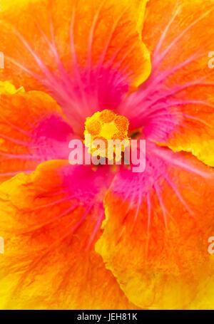 Close-up macro shot of a beautiful orange, pink and yellow Hibiscus flower; Honolulu, Oahu, Hawaii, United States - Stock Photo