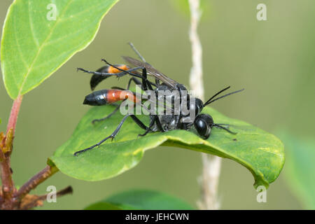 Close-up of mating sand wasps (Ammophila pubescens) - Stock Photo