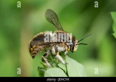 Close-up of a wool-carder bee (Anthidium manicatum) - Stock Photo