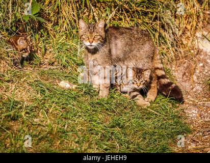 Native British wildlife: Scottish Wildcat (Felis silvestris), mother and 2 month old kittens by den, British Wildlife - Stock Photo