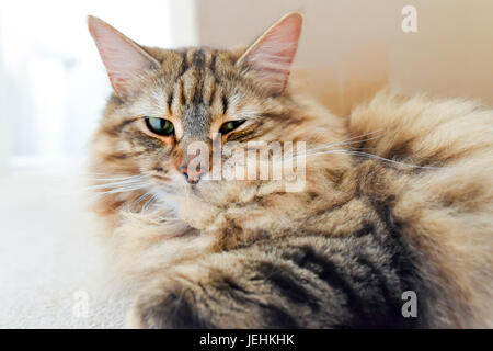 Long Haired Sleepy Tabby Cat Looking At Camera Portrait - Stock Photo