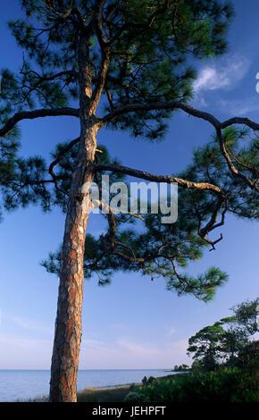 Pine on St Josephs Bay Trail, St Josephs Peninsula State Park, Florida - Stock Photo
