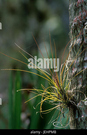 Airplant on palm trunk on Nature Trail to Canopy Walkway, Myakka River State Park, Florida - Stock Photo