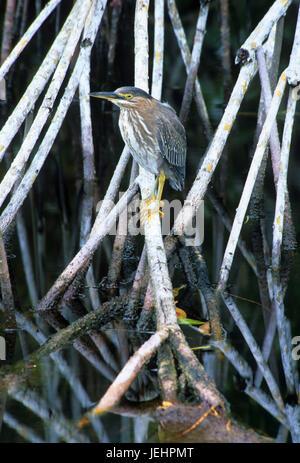 Green-backed heron, JN Ding Darling National Wildlife Refuge, Florida - Stock Photo
