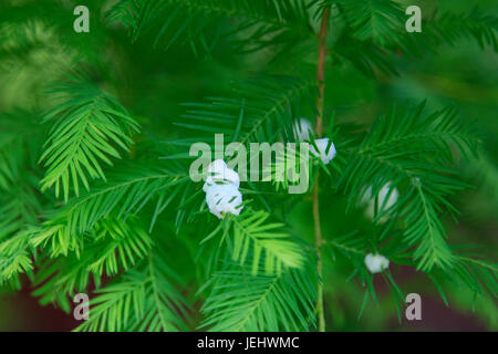 Midge Fly Galls on Bald Cypress Taxodiaceae - Stock Photo