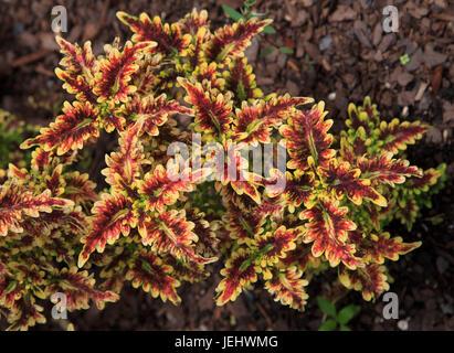 Copper Coral Coleus Solenostemon scutellarioides - Stock Photo