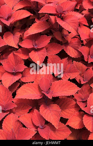 Solenostemon scutellarioides campfire coleus botanical gardens - Stock Photo