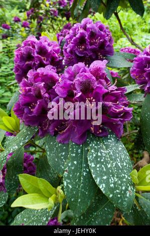 Purple Azalea (Rhododendron). Sedgwick Gardens on Long Hill estate, in Beverly, MA. - Stock Photo