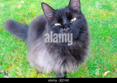 Long Haired Black Cat Sitting On A Grass Lawn Looking Up To The Camera Portrait. - Stock Photo
