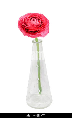 Red Ranunculus flower, Ranunculaceae family. Genus include the buttercups, spearworts, and water crowfoots. Close - Stock Photo